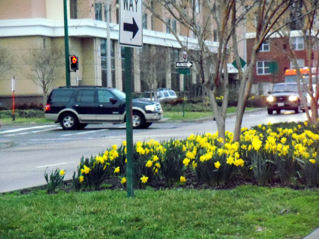 Daffodils in the City