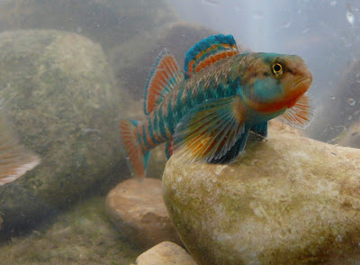 Rainbow Darters are often abundant, and probably in a stream near you ...