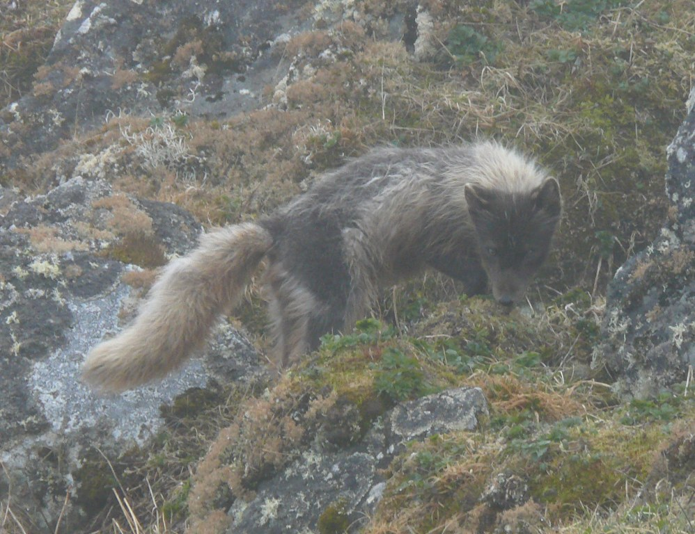 Arctic Fox, St. Paul Island,