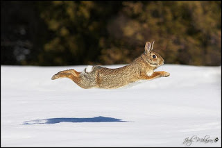 running flying rabbit Jody Melanson