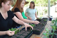 transplanting tomato and pepper seedlings