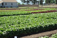 lettuce fields at shamrock seeds