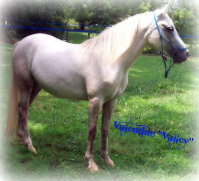 Valley - Quarter Horse/Arabian
