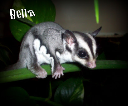 Bella - Sugar Glider