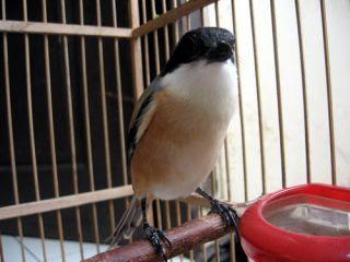 burung cendet atau pentet merupakan burung yang sangat