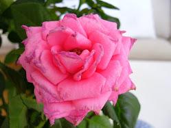 Rosen är vindpinad