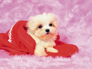 Dog breed Maltese in red cloth looking innocent hot image