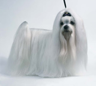 white haired Maltese terrier looking angry sexy pic