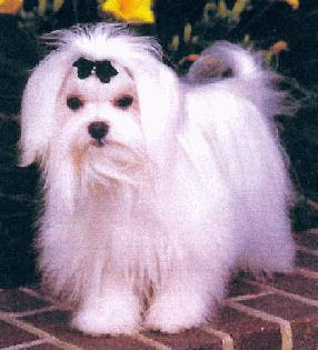 white heavenly teacup maltese puff puppy looking serious hot picture