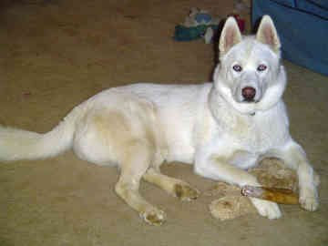 white alaskan sitting in ice dogs breeds pictures of dogs husky puppies free download pics and photos fotos de alaskan husky dogs