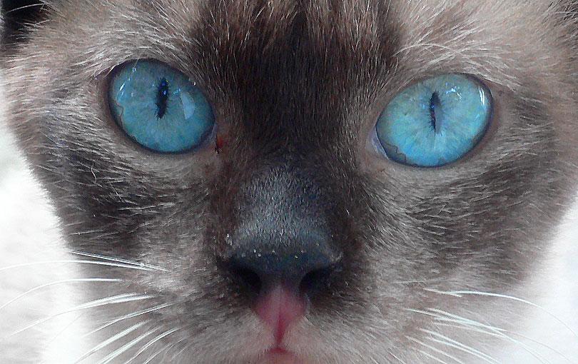 tet gat gato kat ulls ojos blau azul blue animal feli felino