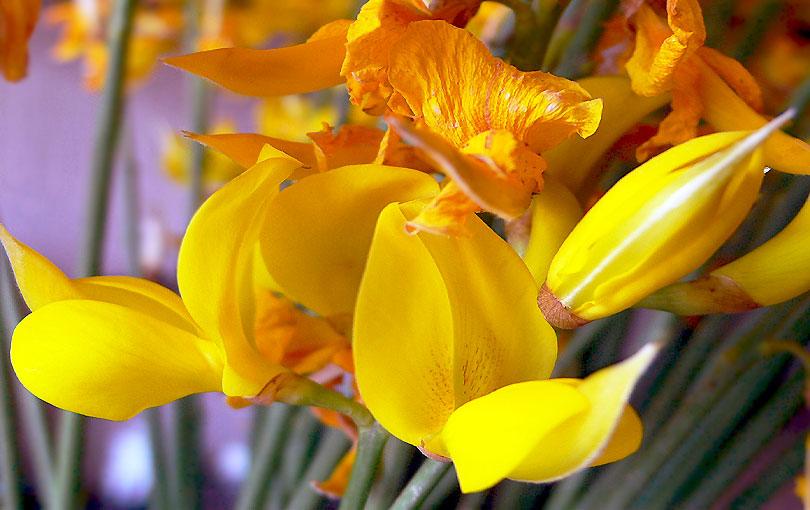 ginesta spartium junceum retama de olor broom amarillo groc yellow flor flower rama planta