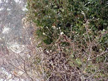 magnolia stellata against autumn clematis