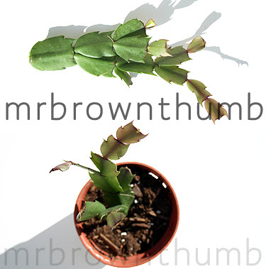 Christmas Cactus cuttings, rooting, growing