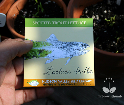 Spotted Trout lettuce Hudson Valley Seed Library