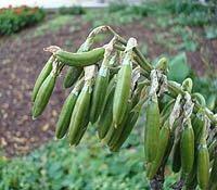 hosta seed pods, unripe hosta seed pod