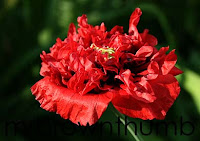 red double poppy, sowing poppy seeds