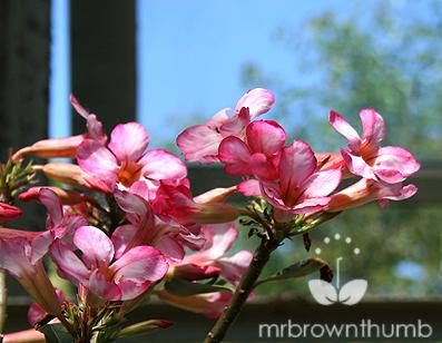 Adenium Obesum, Desert Rose Flowers