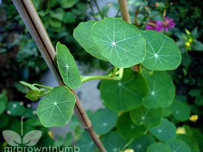 climbing nasturtium in the garden