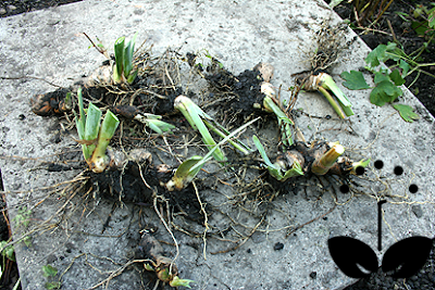 bearded iris rhizomes, how to plant irises in your garden