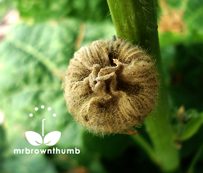 Unripe hollyhock seed pod, how to collect hollyhock seeds