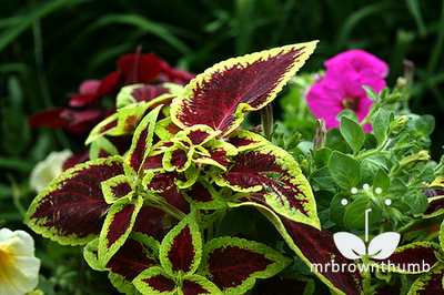 Coleus Versa Crimson Gold Ball Horticultural Company