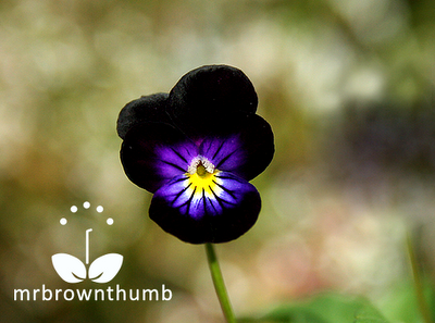 Blackjack viola flower, black flowers