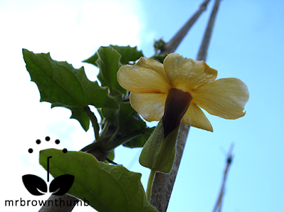Black-Eyed Susan vine flower picture