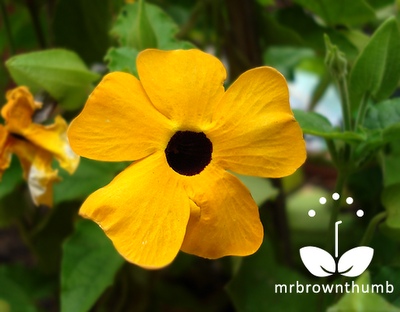 Black-Eyed Susan vine flower, Thunbergia alata flowers