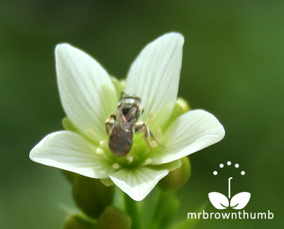 Sweat Bee on Venus Flytrap Flower, Venus Flytrap catches a fly