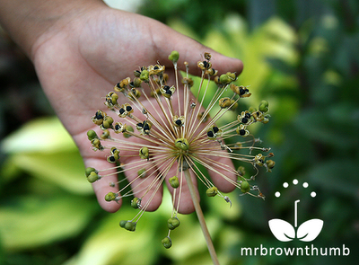 How to save Allium Seeds in the garden