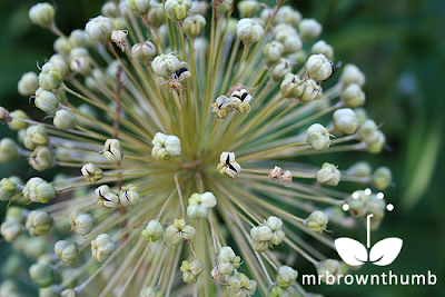 Allium seed pods, how to save Allium seeds