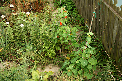 Spitfire nasturtiums climbing up a bamboo stake trellis