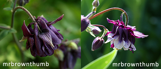 Black columbine flowers