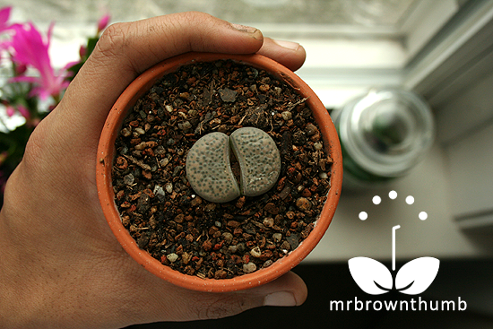 Living Stones, How to Plant