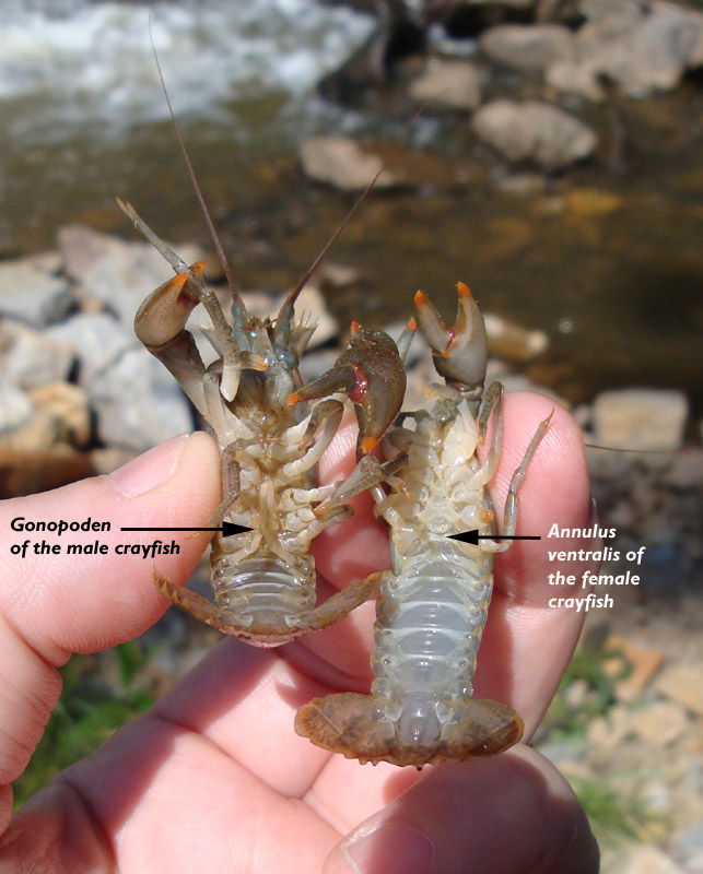 Male And Felmale Crayfish