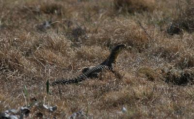 Sungazer Lizard in characteristic pose outside it's burrow