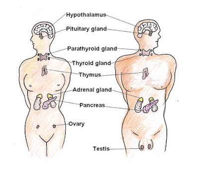6 glands & their function in body