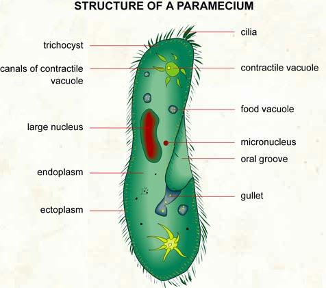 paramecium cell - photo #24