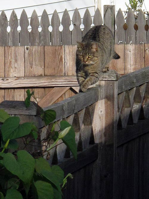 tiger tabby feral cat