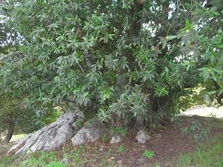 umbellularia_californica2.jpg