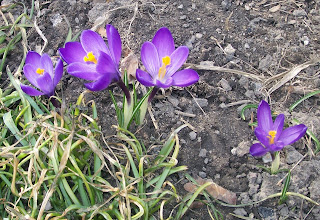 four purple crocus flowers
