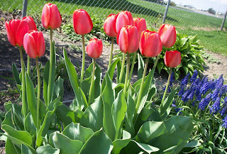 red tulips and purple grape hyacinths from our back yard