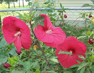 red hibiscus blooms from the back yard