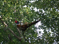 close up of the pheasant in the tree