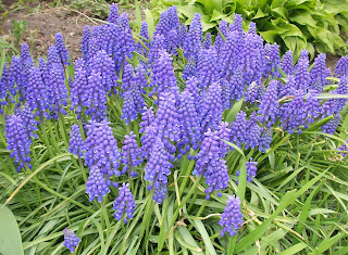 cluster of grape hyacinths