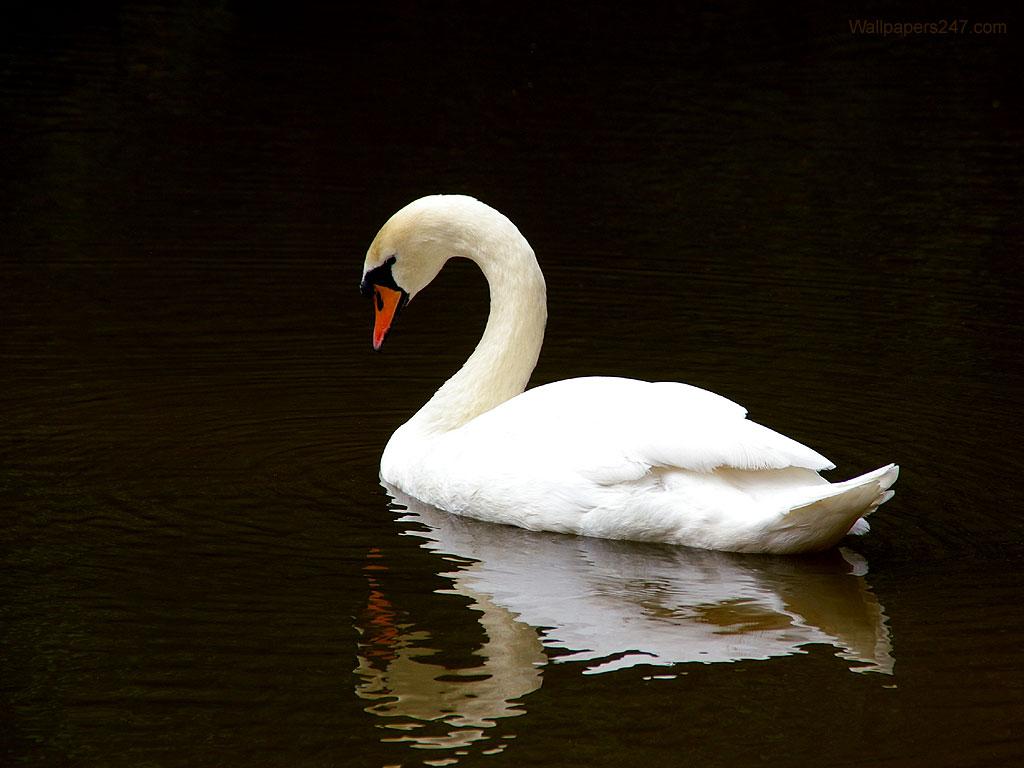 http://2.bp.blogspot.com/_Ay6nyvh2V0o/S_4UPLpe5MI/AAAAAAAAAFM/wUhXOxGr6ug/s1600/White-Swan-902161.jpeg