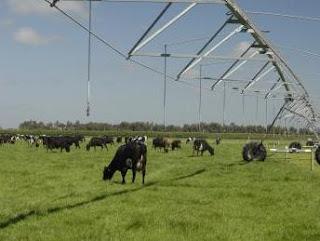 Producción de pastos con Pivotes para el ganado