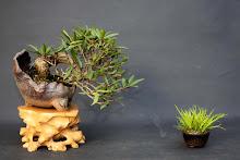 mamê bonsai
