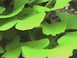 Gingko leaves--Japanese Tea Gardens